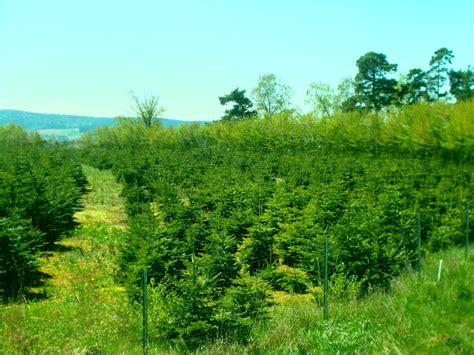 d nger f r weihnachtsbaum plantagen verkauf tannen aus eslarn