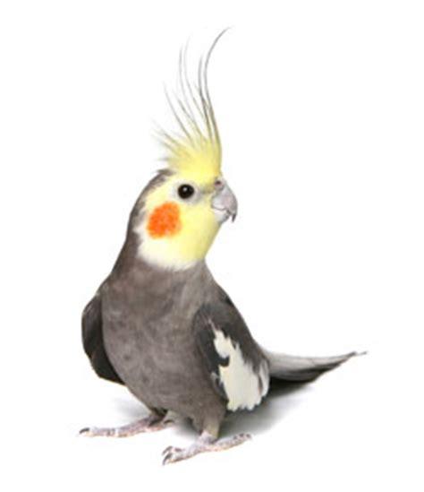 pin cockatiel bird for sale in chennai on pinterest