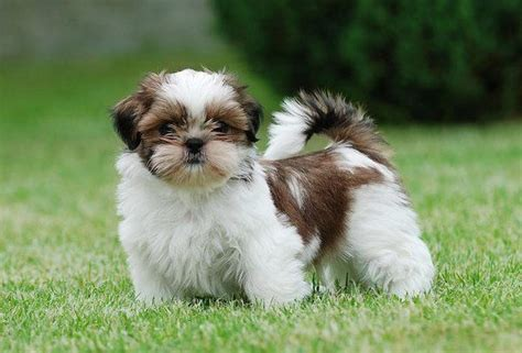 shih tzu cost shih tzu pet insurance compare plans prices