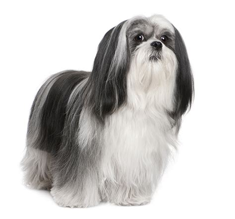 lhasa apso dogs lhasa apso price breeds picture