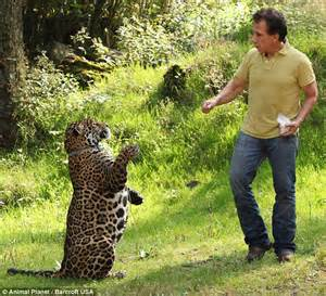Domesticated Jaguar Mexican Producer Rafael Villafane Keeps A Jaguar As