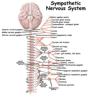 sympathetic nervous system hook ap psychology 3b