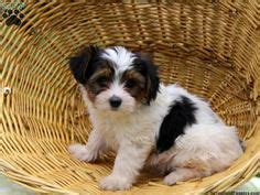 corgi yorkie mix puppies for sale 1000 images about mixed breeds on puppies for sale chihuahua mix puppies