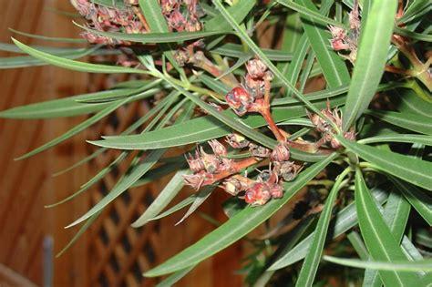 wann schneidet oleander was ist mit meinem oleander mein sch 246 ner garten forum