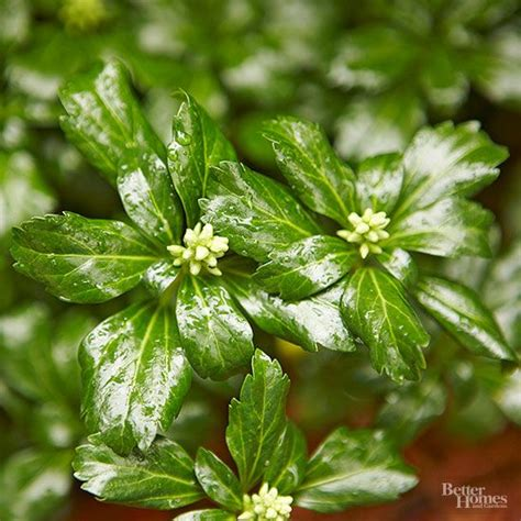 135 best images about ground covers on pinterest gardens