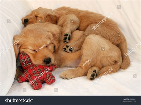 golden retriever puppy sleeping habits image gallery puppies asleep