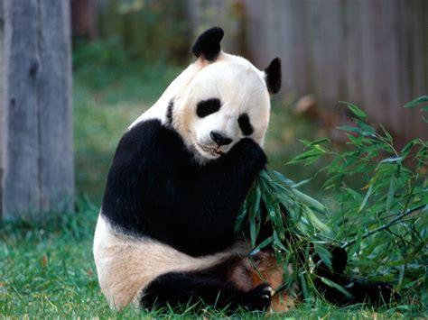 imagenes de osos wallpaper imagenes animales en alta definicion imagen oso panda