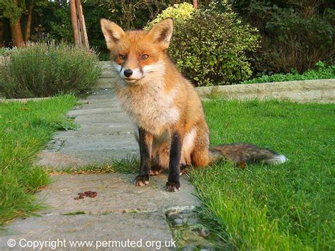 fox looking fox looking dogs breeds picture