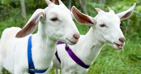 Cap Tiga Gunung Serbet Tangan Murah Meriah analisa bisnis ternak kambing