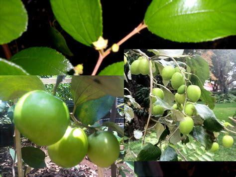 Tanaman Apel India Putsa apel india putsa go green