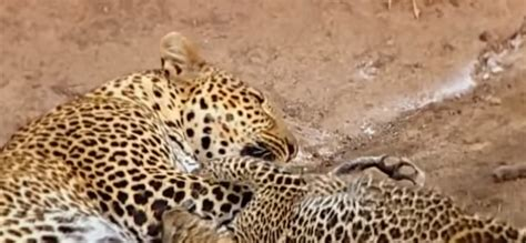 whats the difference between a leopard and a jaguar difference between cheetah and leopard spots samsung
