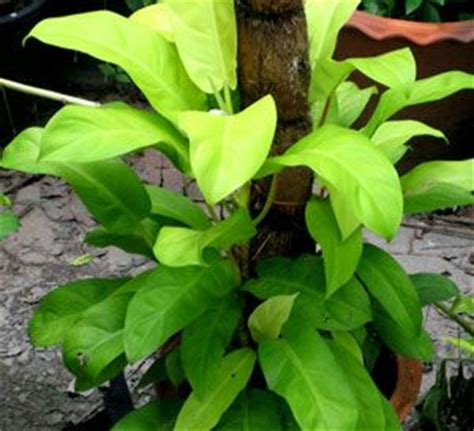 Tanaman Hias Philo Lemon Philodendron Lemon 243 best images about philodendros on garden catalogs air layering and tropical