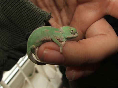 For sale baby veiled chameleons devon 163 25 each dscf7564jpg