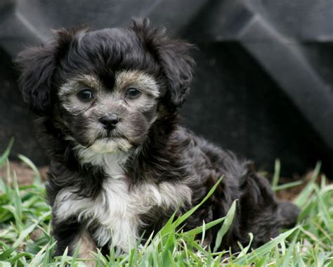 havanese or shih tzu black poodle puppies puppies puppy