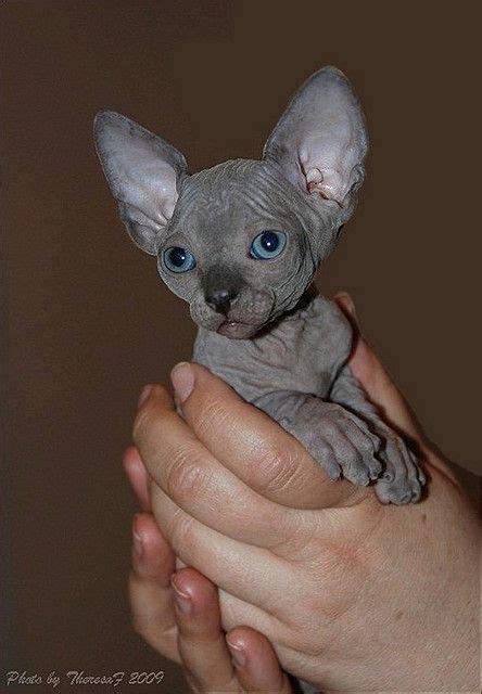 blue sphynx kitten   hairless kittens   Pinterest