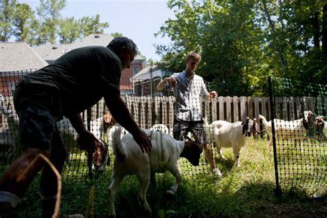 get your goat rentals goat rental service shark tank blog