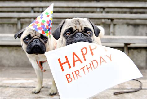 pug singing happy birthday random pugs saying happy birthday quotes