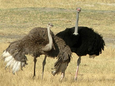 urial wallpapers animals town ostrich wallpaper and background animals town