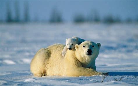 imagenes animales y naturaleza paisajes de la naturaleza nieve animales osos polares