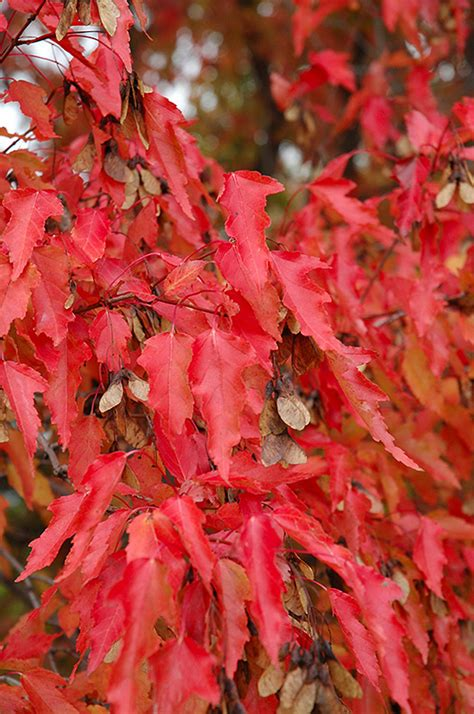 maple tree calgary amur maple tree form acer ginnala tree form in calgary alberta ab at spruce it up