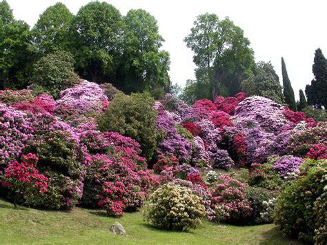 cespugli fioriti per giardino un cespuglio di rodeandri per il giardino della