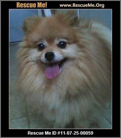 pomeranian animal shelter pomeranian animal shelter image search results