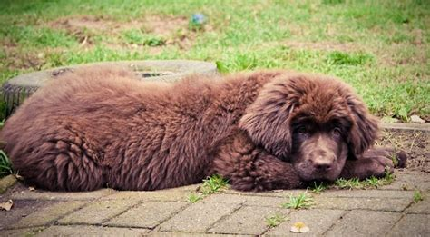 newfoundland puppies cost images of newfoundland puppy in brown jpg