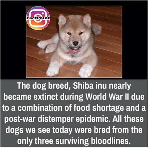 What Breed Is Doge Meme - 25 best memes about shiba inu shiba inu memes