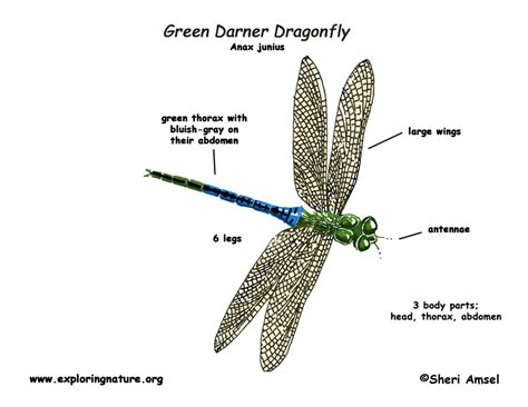 dragonfly anatomy diagram dragonfly green darner