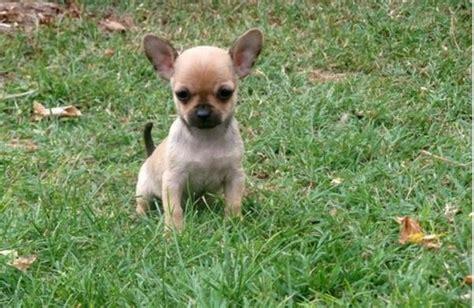 Futon Québec by B 195 169 B 195 169 Chihuahua A Donner Au Qu 195 169 Bec