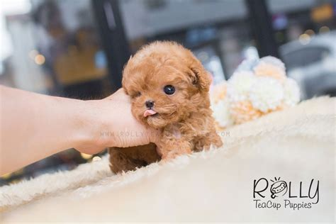 rolly teacup puppies reviews dolly poodle rolly teacup puppies