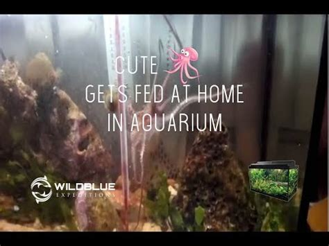 octopi home cute octopus gets fed at home in aquarium youtube