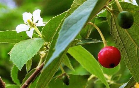 kersen ciri ciri tanaman serta khasiat dan manfaatnya situs tanaman obat indonesia