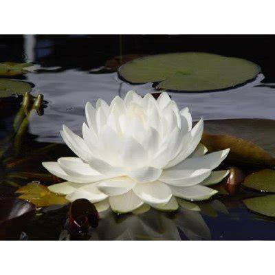 fiore di loto bianco negozio bonsai semi di fiore di loto bianco nynphaea la