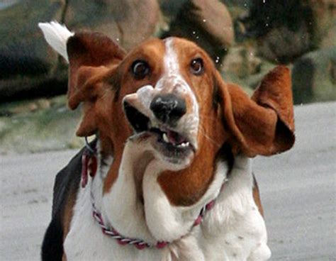 what does a walker hound dog look like ultra gross what does a basset hound look like when it runs