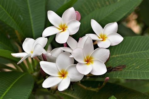 frangipani flower morflora