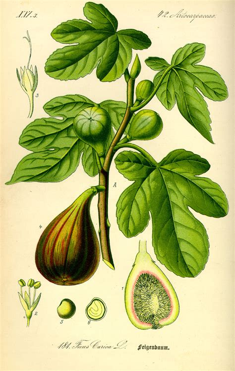 cer tafel flora von deutschland 214 sterreich und der schweiz 1885