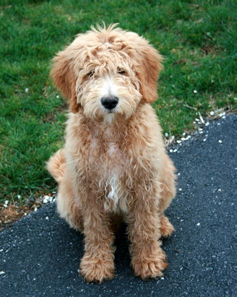ultimate doodle puppy 17 best images about sweet doodles on f1b
