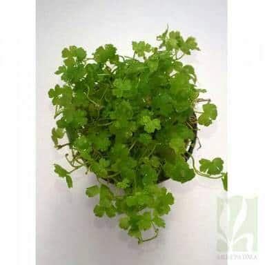 tanaman aquascape hydrocotyle tripartita bibitbunga