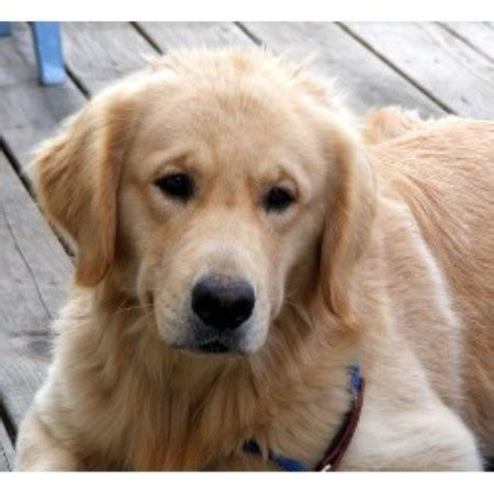 pennsylvania golden retrievers freya golden retriever breeder in montrose pennsylvania listing id 14498
