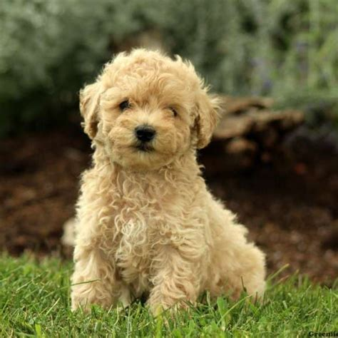 poodle doodle puppies for sale puppies for sale in pa