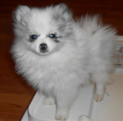 how many puppies do pomeranians in a litter pomeranian puppies oklahoma jm pomeranian s