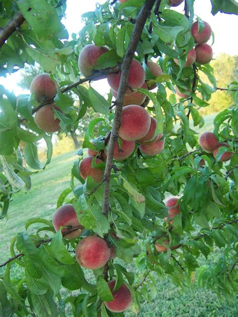 fruit tree nursery tennessee 137 best images about farm stuff on
