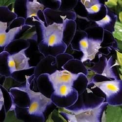 20 deep blue torenia wishbone flower seeds annual ebay