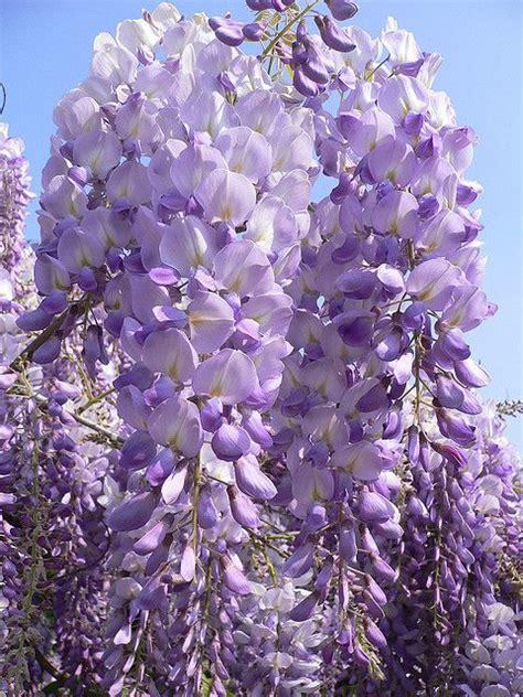 american wisteria wisteria frutescens wisteria pinterest