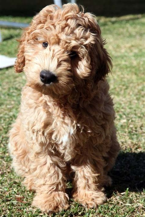 australian labradoodle puppies for sale gaga labradoodles puppies for sale dogs for adoption family pets animals