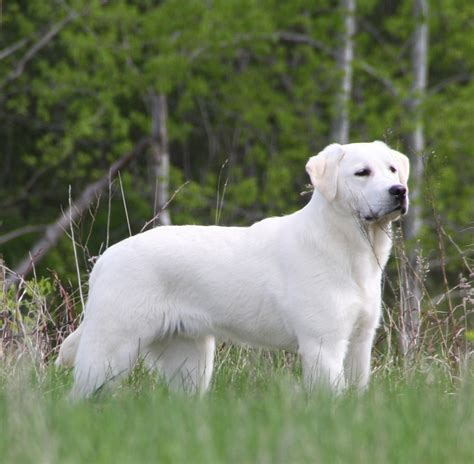 white lab puppies labrador retriever breeders breeds picture