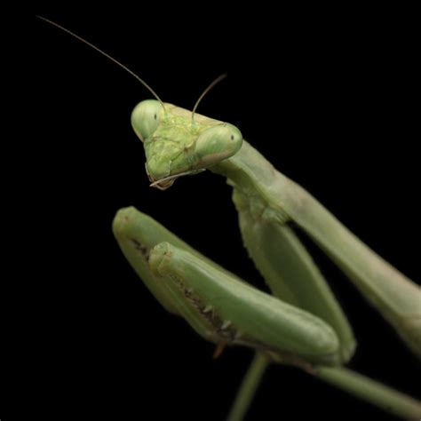 praying mantis change color praying mantis national geographic