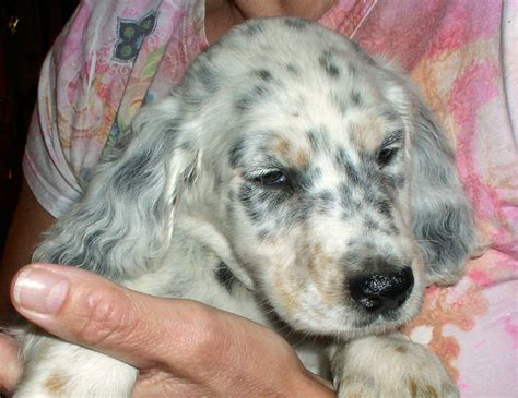 llewellin setter puppies puppy portraits east coast llewellin setters