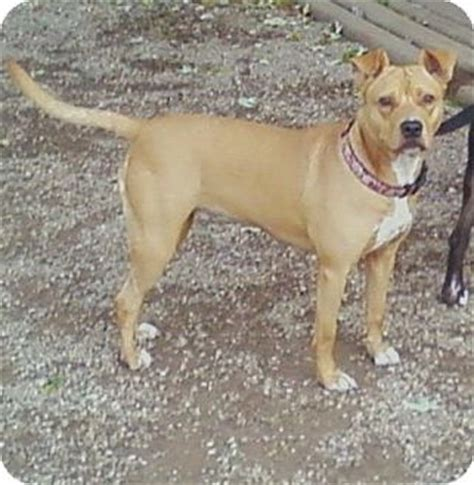 pitbull and pug mix goldie adopted toledo oh american pit bull terrier pug mix